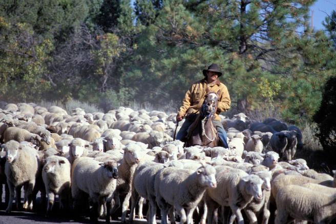 herding-sheep-in-colorado-carl-purcell